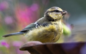 Picture bird, blur, bowl, bokeh, tit, feathers