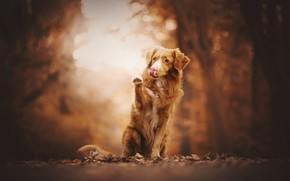 Picture autumn, language, look, leaves, trees, nature, pose, Park, background, paw, dog, red, sitting, bokeh, Retriever