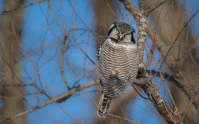 Picture look, branches, tree, owl, bird, blue sky, owl