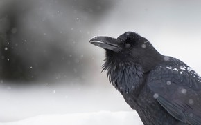 Picture snow, background, bird, Raven