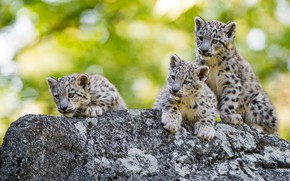 Picture greens, face, cats, background, stone, kittens, snow leopard, walk, kids, wild cats, zoo, bokeh, cubs, …