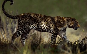Picture grass, light, nature, pose, background, leopard, tail, walk