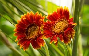Picture flowers, orange, Duo, gerbera, bokeh