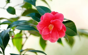 Picture flower, leaves, background, red, bokeh, Camellia