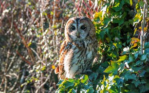 Picture leaves, owl, bird, bokeh, ivy, owl