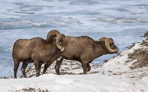 Picture winter, snow, mountains, nature, slope, pair, RAM, wild, two, lambs, sheep, two sheep