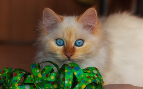 Picture cat, white, look, kitty, background, fluffy, tape, kitty, serpentine, blue-eyed, color-point, Neva masquerade, red-point