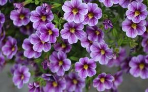 Picture purple, flowers, Calibrachoa