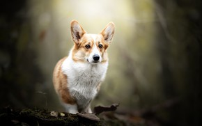 Picture nature, dog, Corgi