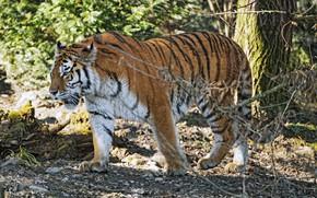 Picture tiger, predator, power
