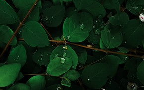 Picture green leaves, water drops, the branches of a tree