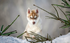 Picture snow, branches, dog, puppy, Husky
