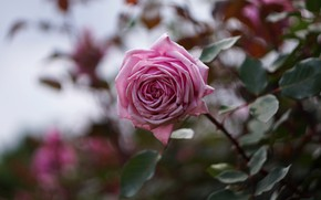 Picture flower, leaves, pink, rose, branch, garden, stem, bokeh, blurred background