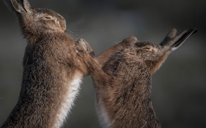 Picture background, Boxing, rabbits, showdown, sparing, two birds