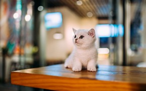 Picture cat, white, look, lights, pose, kitty, table, baby, lies, kitty
