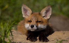 Picture face, nature, animal, cub, Fox