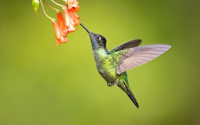 Picture flowers, background, bird, Hummingbird