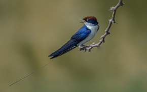 Picture bird, branch, sitehost swallow