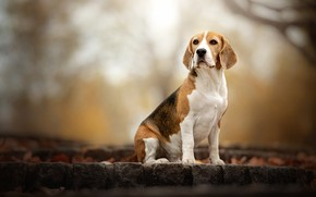 Picture autumn, look, nature, background, dog, bokeh, Beagle