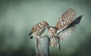 Picture birds, pose, owl, two, stump, wings, pair, owls, a couple, owl, owls, two birds, secici