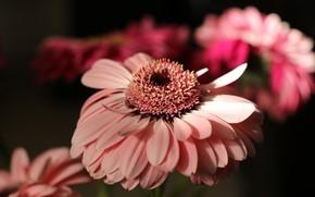 Picture close-up, pink, gerbera, blurred background
