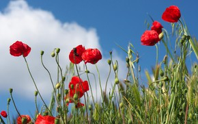 Picture the sky, grass, clouds, flowers, Mac, Maki, red, blue background