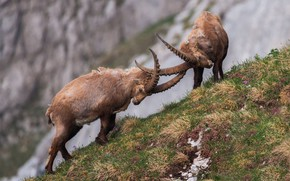 Picture horns, tournament, mountain goat