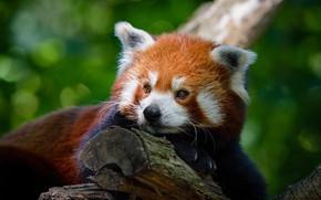 Picture look, face, pose, green, background, tree, portrait, paws, lies, red Panda, peer, bokeh, red Panda