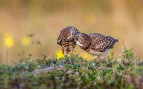 Picture grass, birds, pose, owl, two, pair, owls, a couple, two, meal, owl, owls