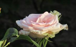 Picture Rose, Flower, Pink rose, Meduzanol ©