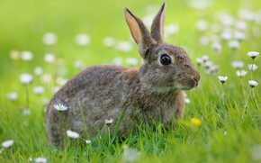Picture summer, grass, look, flowers, grey, glade, hare, Bunny, Daisy