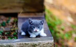 Picture baby, kitty, Munchkin