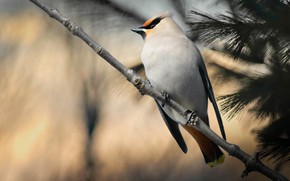 Picture branches, bird, bokeh, the Waxwing