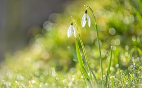 Picture flowers, spring, snowdrops, Duo