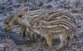 Picture nature, background, boars