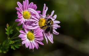 Picture flowers, bee, background, insect, pink, chrysanthemum
