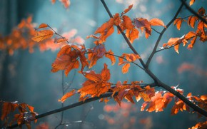 Picture autumn, leaves, branch