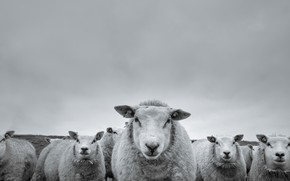 Picture background, sheep, people