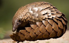 Picture animal, scales, pangolin