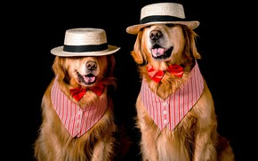 Picture language, dogs, face, butterfly, two, dog, hat, pair, costume, outfit, image, black background, two, a ...