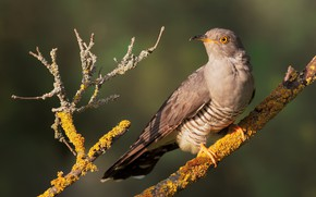 Picture light, background, bird, moss, branch, cuckoo