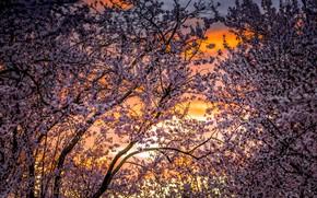 Picture trees, cherry, spring, garden, flowering