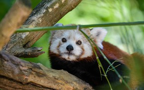 Picture look, face, background, tree, portrait, Panda, red, red Panda, cutie, red Panda, the bamboo shoot, …