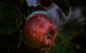 Picture ROSA, DROPS, LEAVES, FOOD, APPLE, The FRUIT