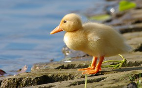 Picture yellow, bird, shore, baby, duck, chick, pond, goose, duck, Gosling