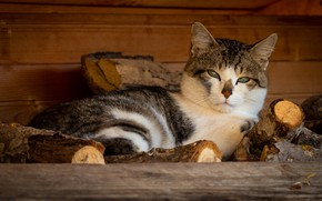 Picture cat, cat, look, face, background, wood, lies, Kote, spotted, village