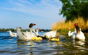 Picture summer, water, birds, nature, pond, river, shore, duck, bright, ducklings, duck, Chicks, pond, goose, geese, …