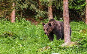 Picture greens, forest, summer, nature, bear, bear, brown