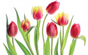 Picture tulips, white background, buds