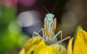 Picture flower, look, drops, macro, yellow, pose, background, mantis, insect, bokeh